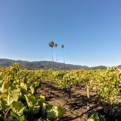 Palm trees in Napa